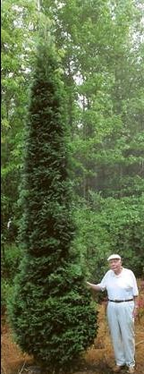 John Houser with his American pillar arborvitae