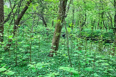 Japanese Knotweed in Wisconsin